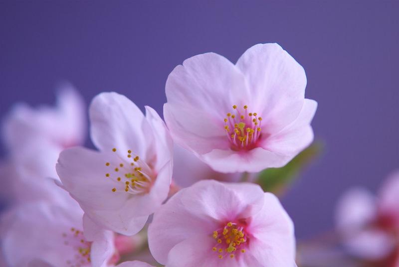 桜の花をマクロレンズで撮ると違う世界が見えてく …