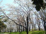 ご近所の櫻 (3) ~万博公園櫻づくし~_b0102572_23103485.jpg