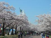 ご近所の櫻 (3) ~万博公園櫻づくし~_b0102572_2385685.jpg