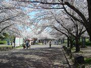 ご近所の櫻 (3) ~万博公園櫻づくし~_b0102572_23873.jpg