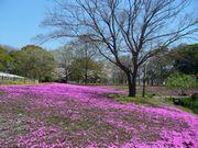ご近所の櫻 (3) ~万博公園櫻づくし~_b0102572_239294.jpg
