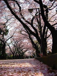 天地に桜_d0074474_1565276.jpg