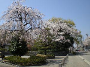 金沢の桜、満開。_b0150576_12433823.jpg
