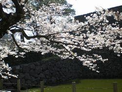 金沢の桜、満開。_b0150576_12512971.jpg