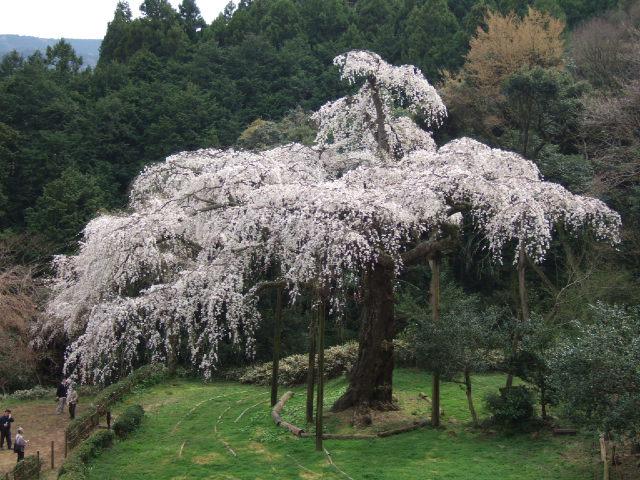 小田原の桜散策 -長興山のしだれ桜ー_e0024094_123132.jpg