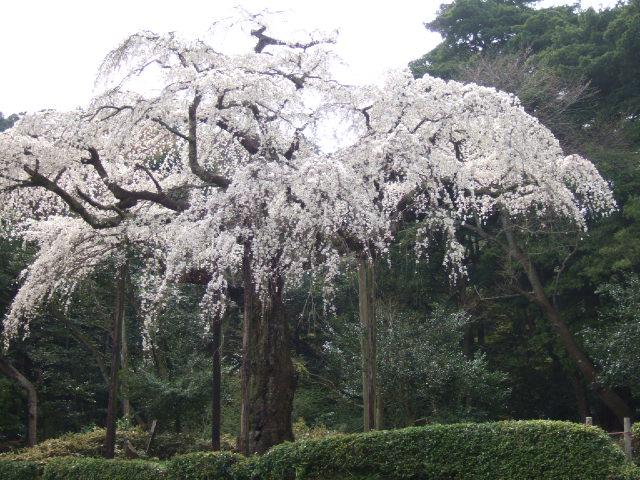 小田原の桜散策 -長興山のしだれ桜ー_e0024094_1273419.jpg