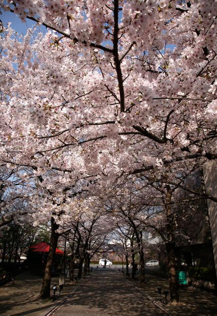 祗園白川の桜_c0108595_15253198.jpg