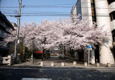 祗園白川の桜_c0108595_15322474.jpg