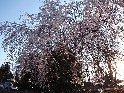 燕市郊外の枝垂れ桜_f0138096_1973860.jpg