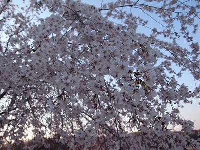 燕市郊外の枝垂れ桜_f0138096_1995081.jpg