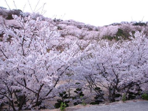 辺り一面、見渡す限り、桜 さくら サクラ 桜 さくら サクラ 桜 さくら...  わんことともに