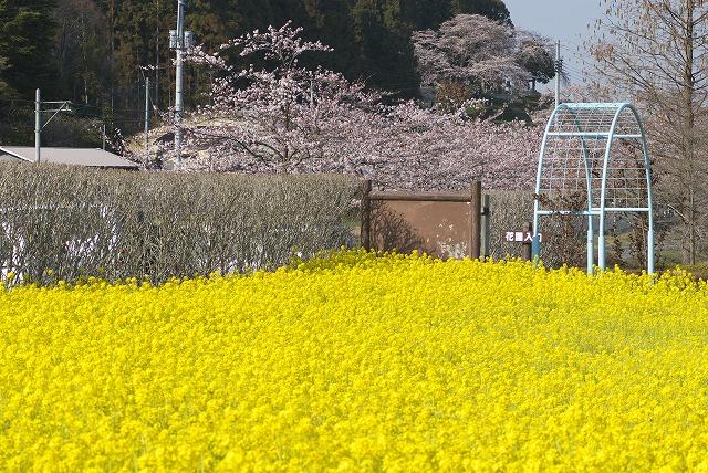 菜の花VS桜_e0132310_10264785.jpg