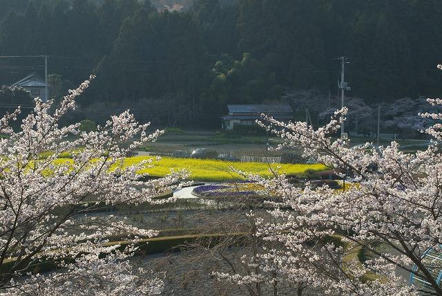 菜の花VS桜_e0132310_10265323.jpg