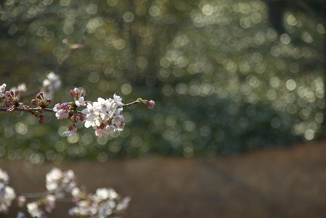菜の花VS桜_e0132310_10271193.jpg