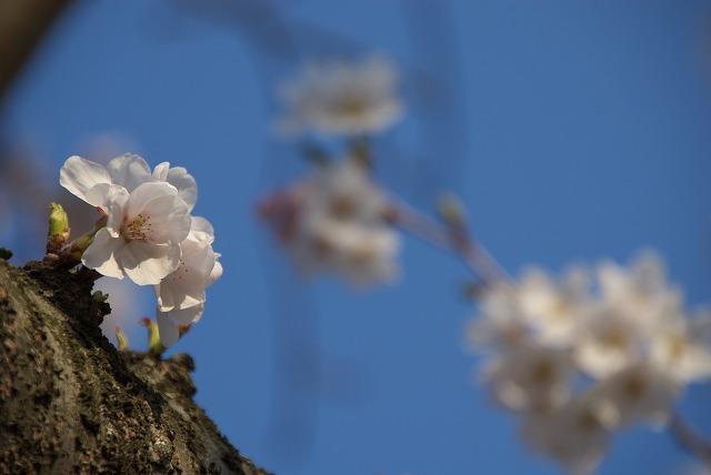 菜の花VS桜_e0132310_10272261.jpg