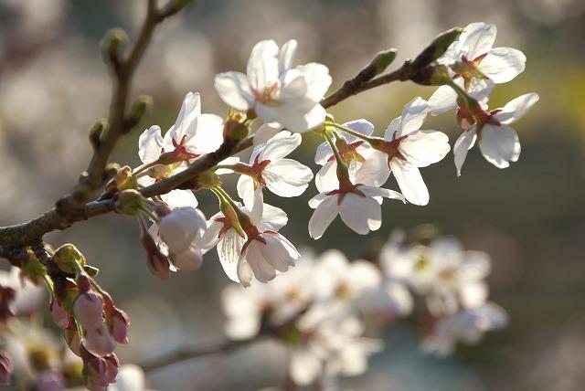 菜の花VS桜_e0132310_102728.jpg