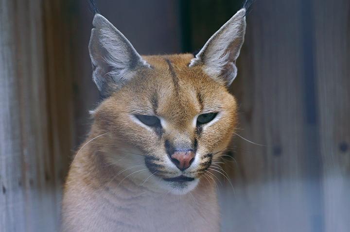 「いやっ!」少々テレ屋なカラカルさんとの対面でした。 こっ、これはと思っ...  動物園をブラブ