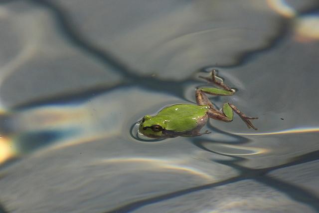 カエル泳ぎ : Photo Diary