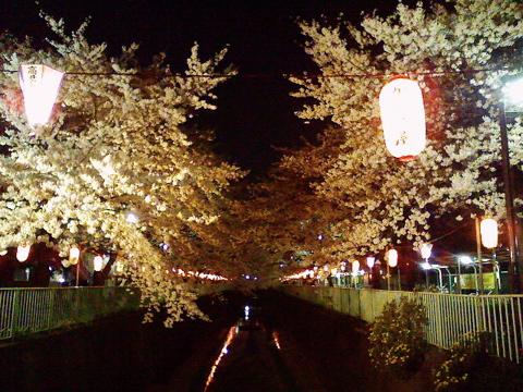 桜さくらヨヨイの宵は_e0058443_11521693.jpg