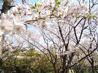 * 今年の桜_e0106552_14112516.jpg