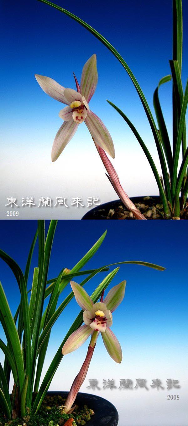 奥地蘭「朶朶香散り斑覆輪奇花」             No.264_b0034163_0231682.jpg