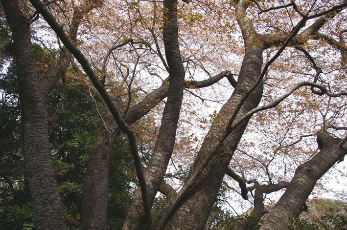 長期間 楽しませてくれた六国見山の山桜(2009・4・10)_c0014967_14125673.jpg