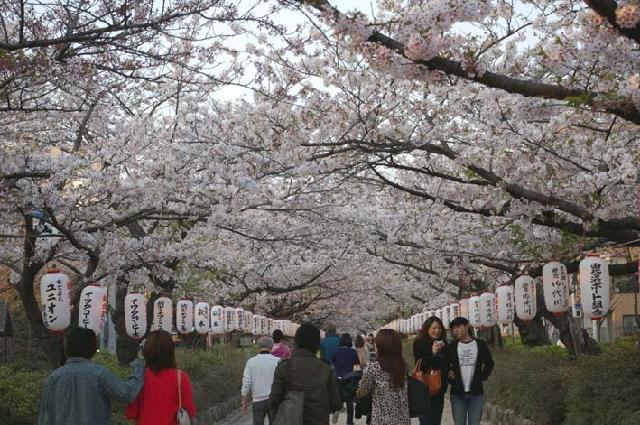 長期間 楽しませてくれた六国見山の山桜(2009・4・10)_c0014967_1413333.jpg