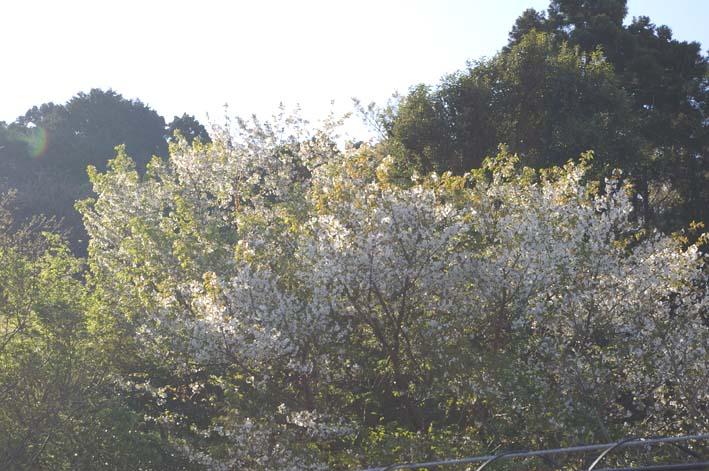 長期間 楽しませてくれた六国見山の山桜(2009・4・10)_c0014967_1453131.jpg
