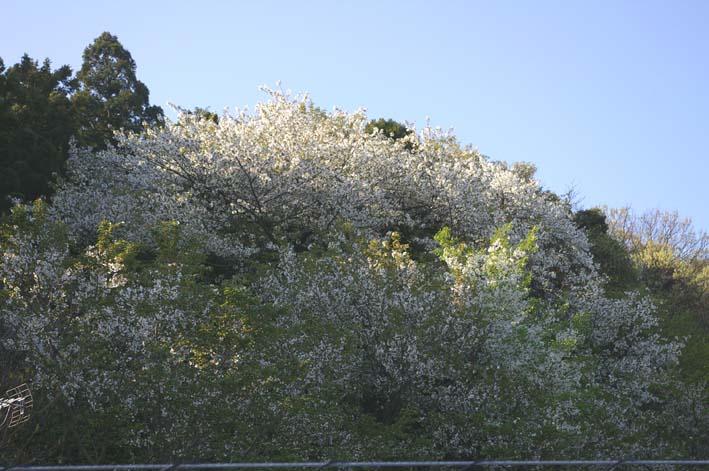 長期間 楽しませてくれた六国見山の山桜(2009・4・10)_c0014967_145455.jpg