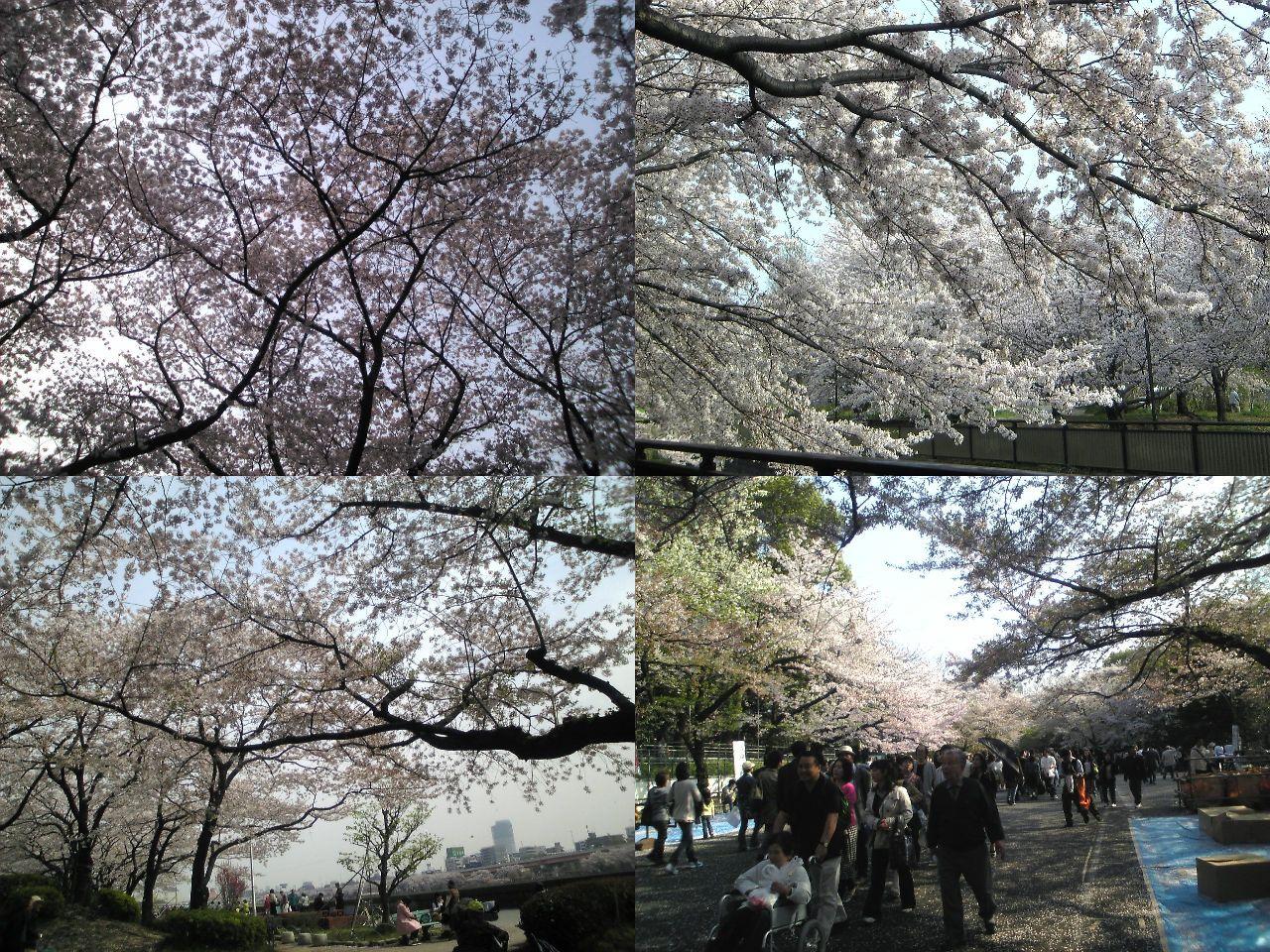桜、たわわになって_d0135882_532124.jpg