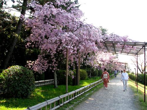 鴨川上流「なからぎの道」しだれ桜_e0048413_14151718.jpg