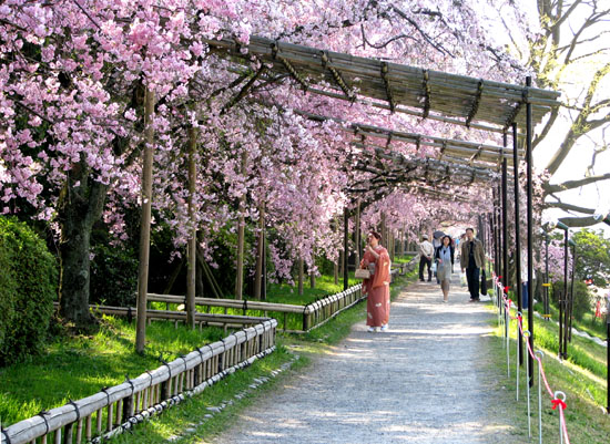 鴨川上流「なからぎの道」しだれ桜_e0048413_14153374.jpg