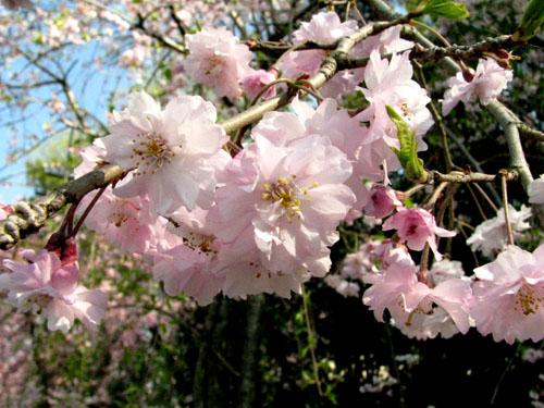 鴨川上流「なからぎの道」しだれ桜_e0048413_14155676.jpg
