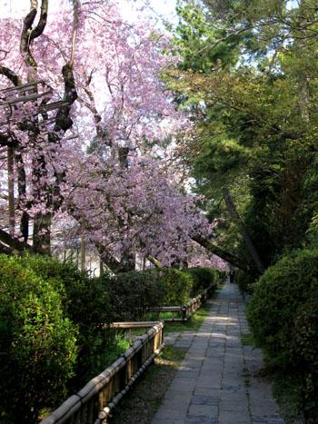 鴨川上流「なからぎの道」しだれ桜_e0048413_141672.jpg