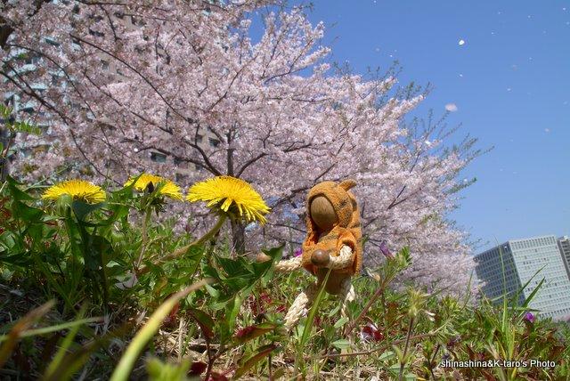 桜舞い散る中・・_b0159515_2326458.jpg