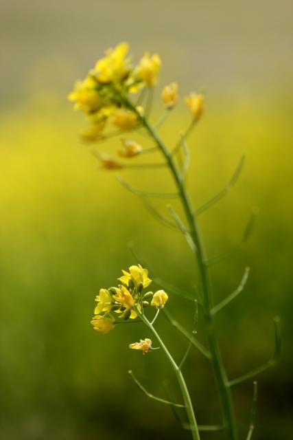 菜の花、雪柳_e0169421_21251669.jpg