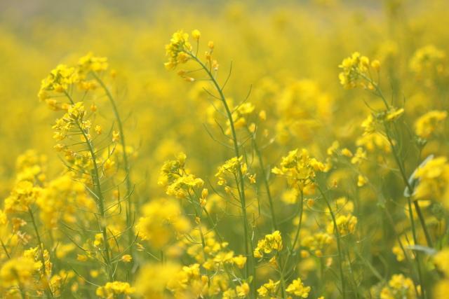 菜の花、雪柳_e0169421_21252615.jpg