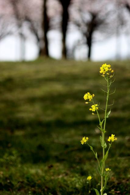 菜の花、雪柳_e0169421_2125326.jpg