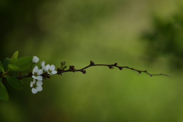 菜の花、雪柳_e0169421_21254494.jpg