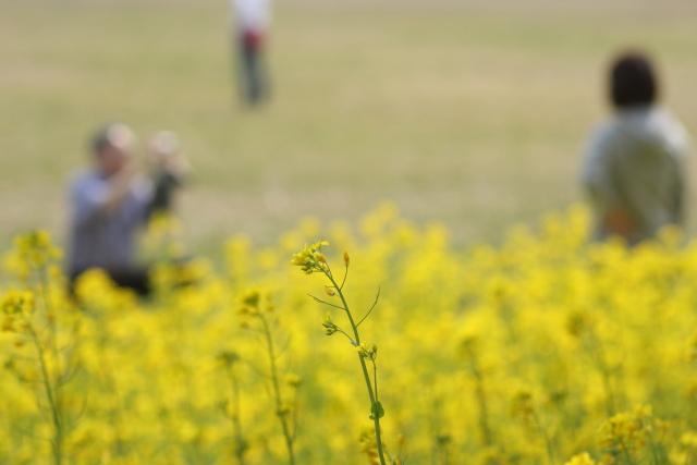 菜の花、雪柳_e0169421_2125851.jpg