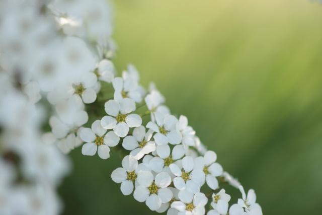 菜の花、雪柳_e0169421_21263156.jpg