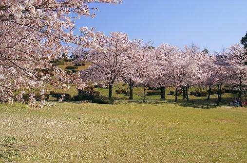 「桜 満々開!」 _b0166232_2323942.jpg