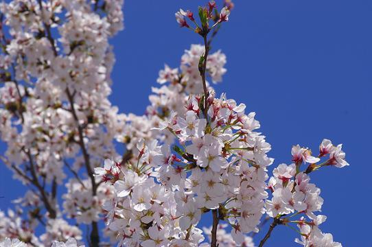 「桜 満々開!」 _b0166232_23282161.jpg