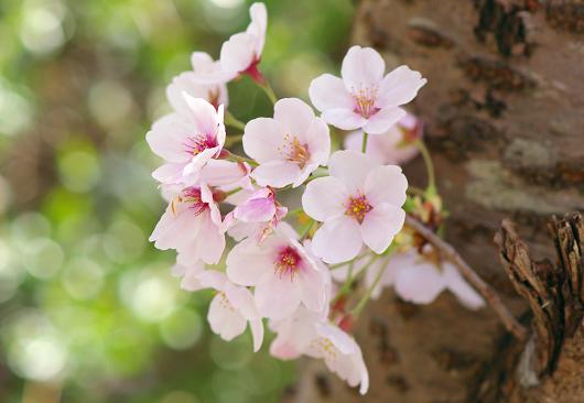 「桜 満々開!」 _b0166232_23282955.jpg