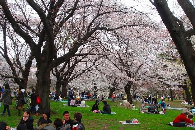 「小金井公園 花見」の画像検索結果
