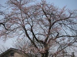 すまいるの桜_e0142373_1710222.jpg