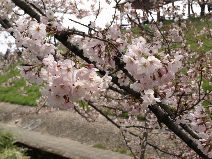 桜 part1_f0097683_15182159.jpg