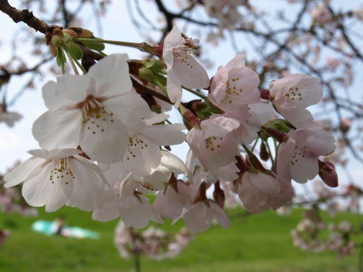 桜 part1_f0097683_15183930.jpg