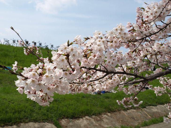 桜 part1_f0097683_1518561.jpg