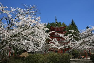 忠霊塔の桜_c0193896_2110201.jpg